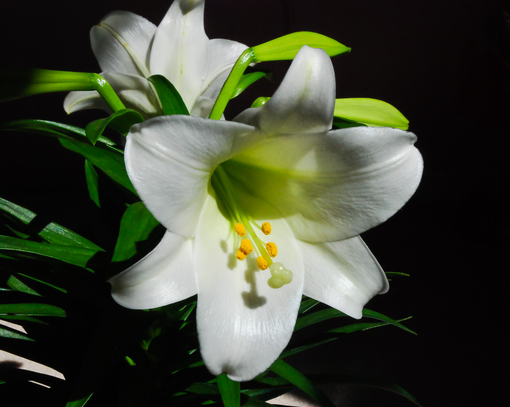 How to grow easter lilies how to grow stuff photo by keith watson izmirmasajfo