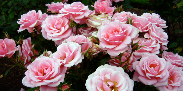How To Grow Roses How To Grow Stuff