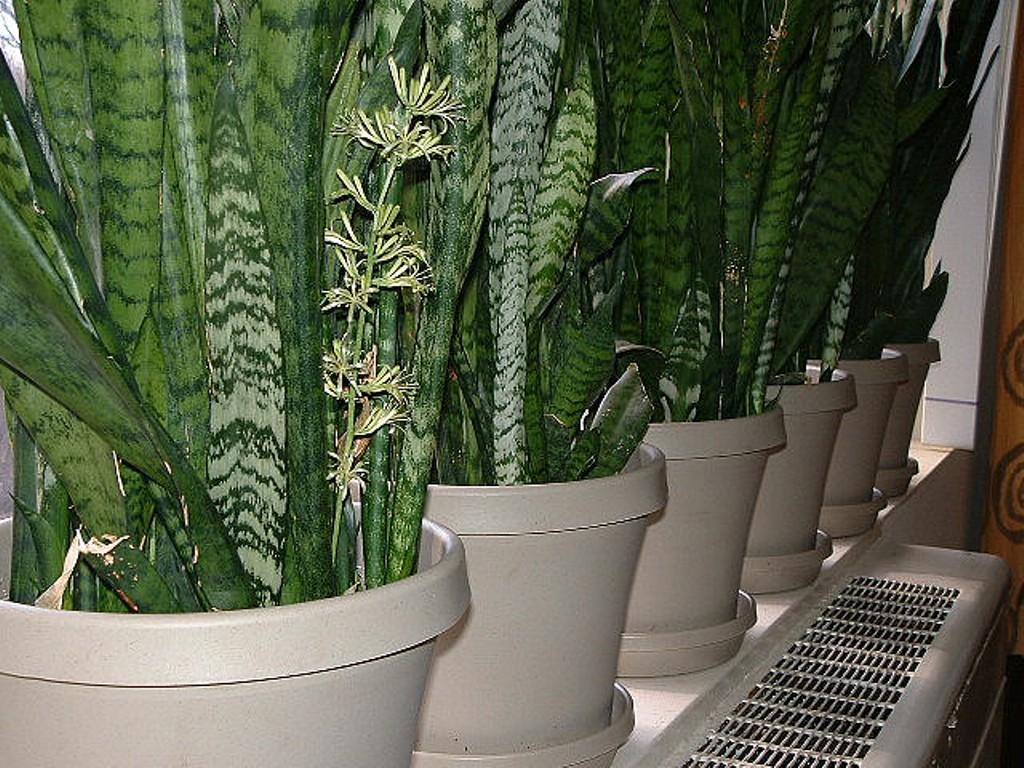 How To Grow Snake Plants How To Grow Stuff