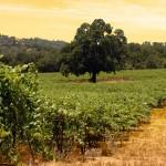 vinyardlarge